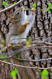 © 2008 Rue--Baby Red Squirrel Eating Buds