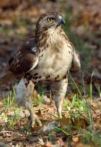 © 2008 Rue--Juvenile Red-Tailed Hawk With Red Squirrel